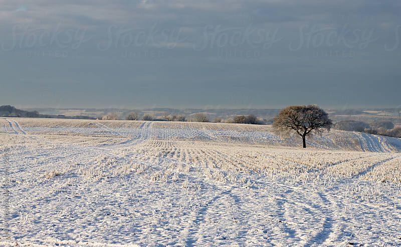 A lone oak tree in a snowy landscape by Helen Rushbrook for Stocksy United