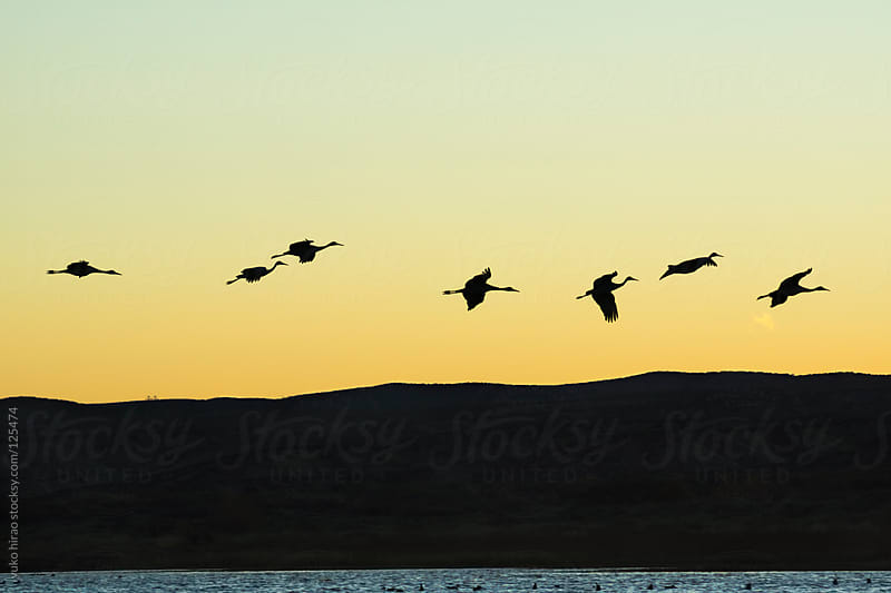 The silhouette of  migratory birds (Sandhil cranes) in flight at sunset by yuko hirao for Stocksy United