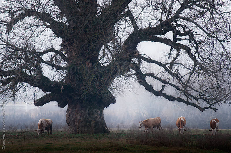 Huge tree with cows grazing under on a cold morning with fog by Cosma Andrei for Stocksy United