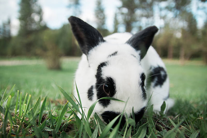 New Zealand Rabbit by Justin Mullet for Stocksy United