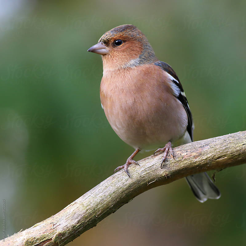 Male chaffinch on a branch by Marcel for Stocksy United