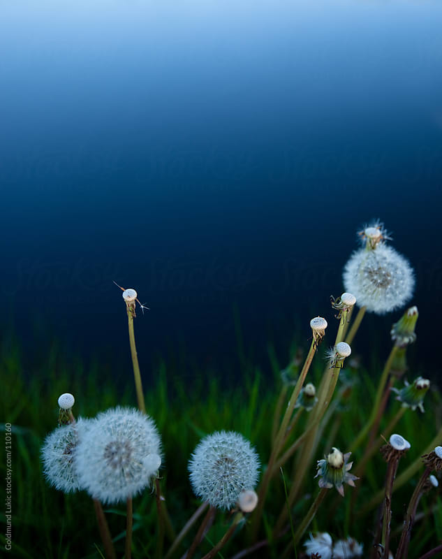 Dandelions at Night by Goldmund Lukic for Stocksy United