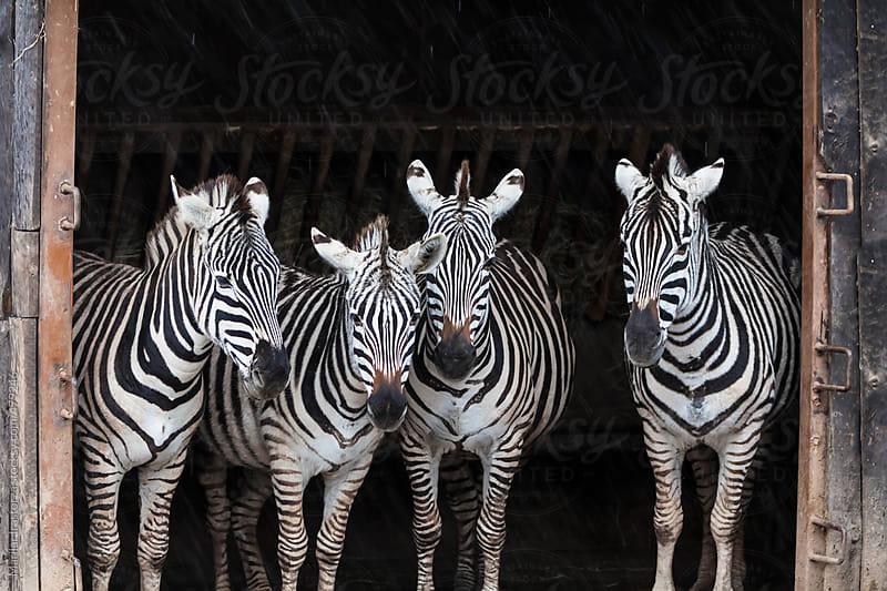 Zebras taking shelter from the rain by Marilar Irastorza for Stocksy United
