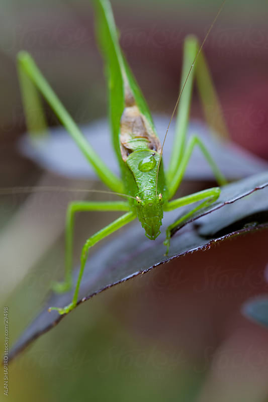 leaf bug up close by ALAN SHAPIRO for Stocksy United