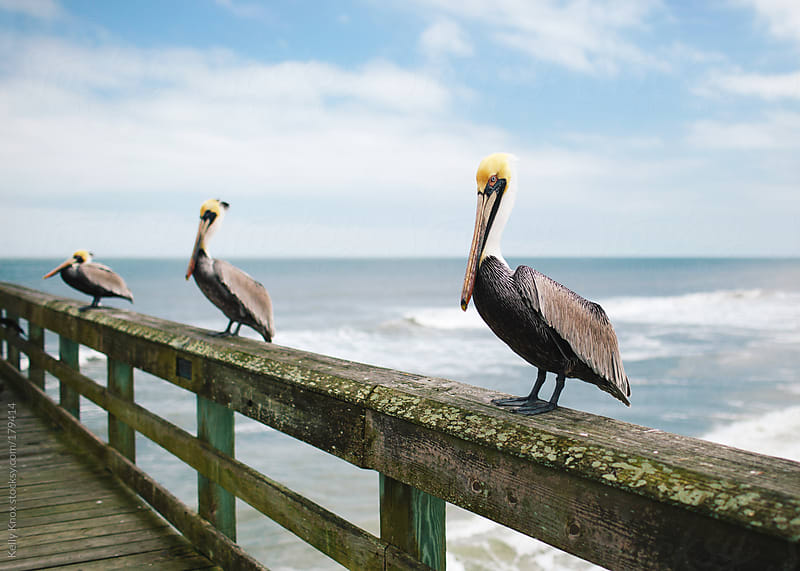 pelican trio on an ocean pier  by Kelly Knox for Stocksy United
