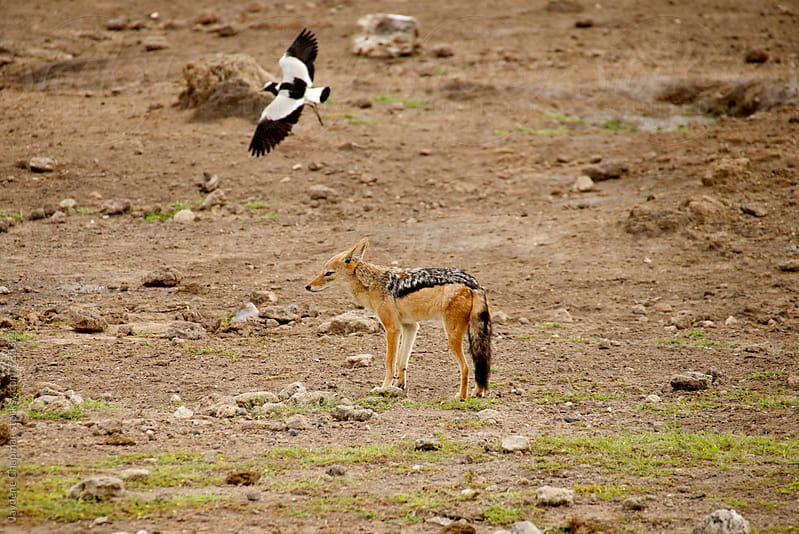 Jackal in the desert and a black and white bird by Jaydene Chapman for Stocksy United