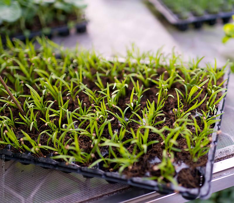Fresh spinach vegetable seedling growing in pot by Lawren Lu for Stocksy United