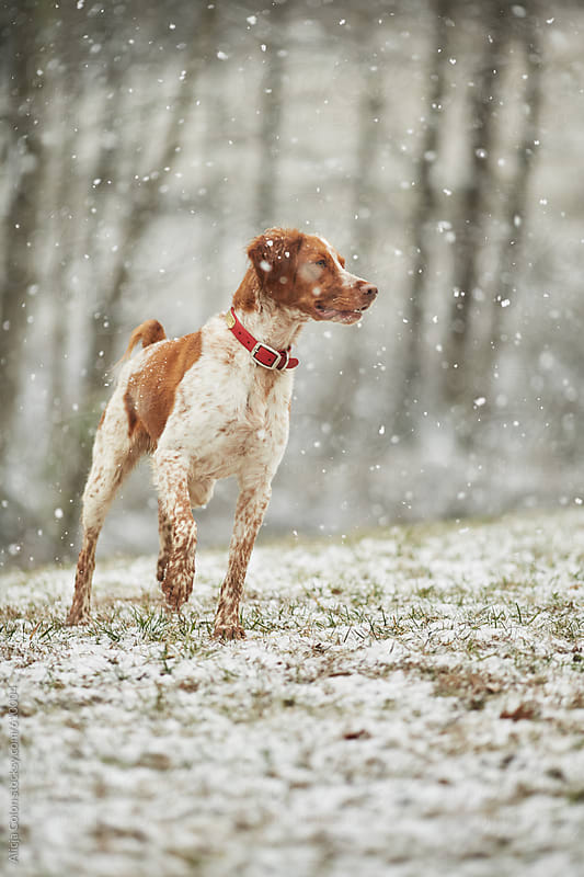 Brittany Spaniel looking in freshly fallen snow by Alicja Colon for Stocksy United