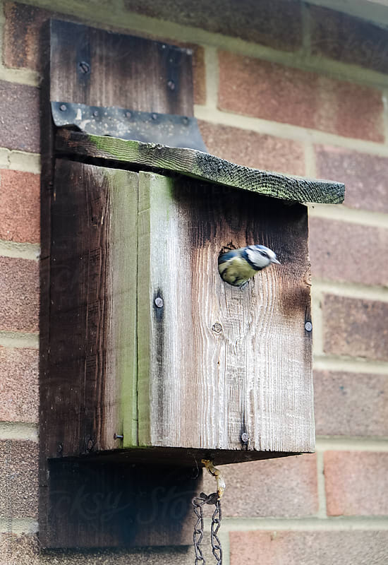 Blue Tit darting out of a nesting box by Jon Attaway for Stocksy United