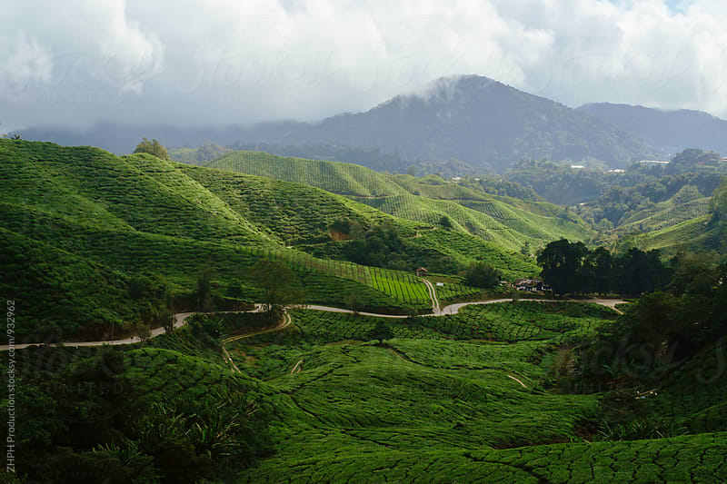 Road trough tea plantations by Artem Zhushman for Stocksy United