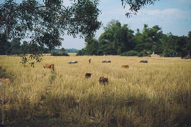 Cambodian Countryside With Cows Grazing by Nemanja Glumac for Stocksy United