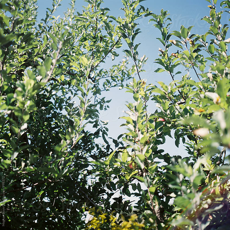 Blue sky beyond the apple tree by Meghan Boyer for Stocksy United