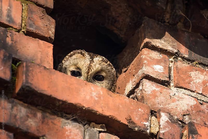 Tawny owl by Gabriel Ozon for Stocksy United