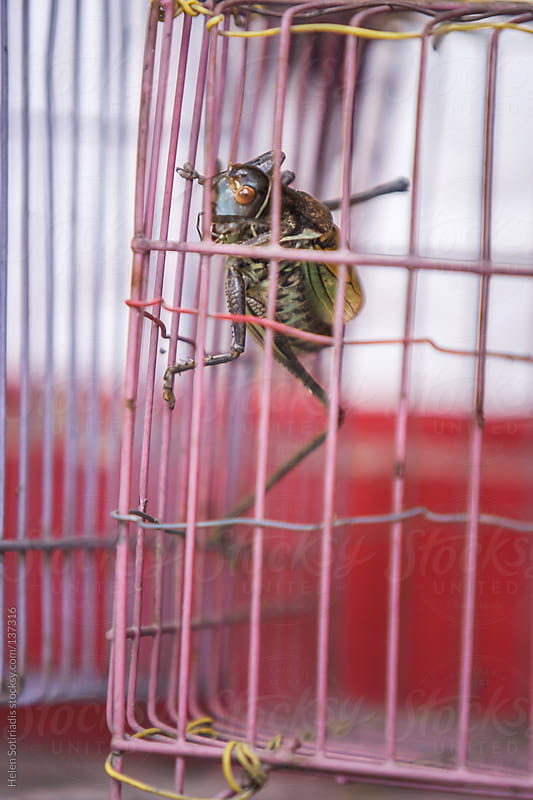 Crickets in a Cage in Beijing, China by Helen Sotiriadis for Stocksy United