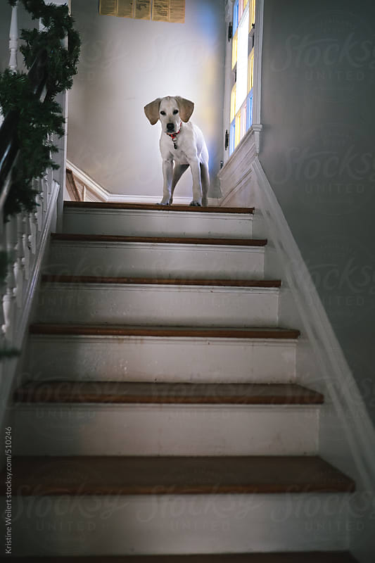 Puppy looking down a flight of stairs by Kristine Weilert for Stocksy United