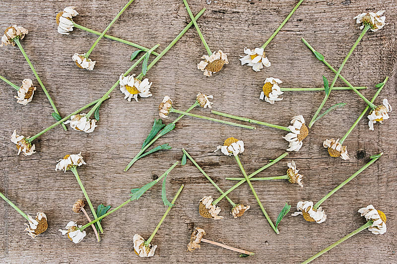 The End of Summer: Withered Flowers Scattered on an Old, Weathered Wooden Surface  by Claudia Lommel for Stocksy United