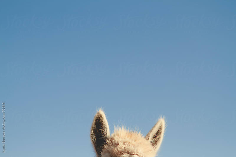 Head of an Alpaca by Jayme Burrows for Stocksy United