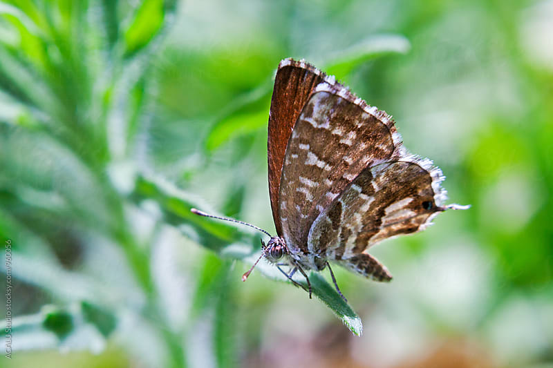 Small brown butterfly on a plant by ACALU Studio for Stocksy United