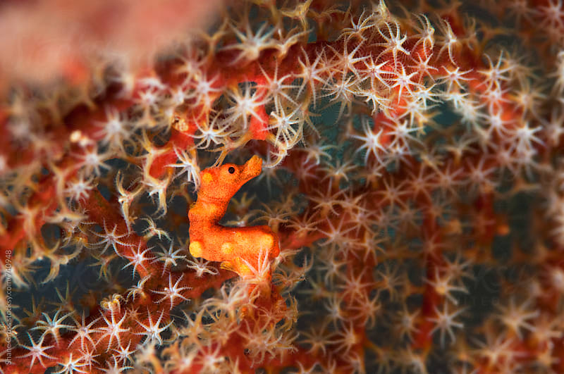 Pygmy Seahorse on Sea Fan by Shane Gross for Stocksy United