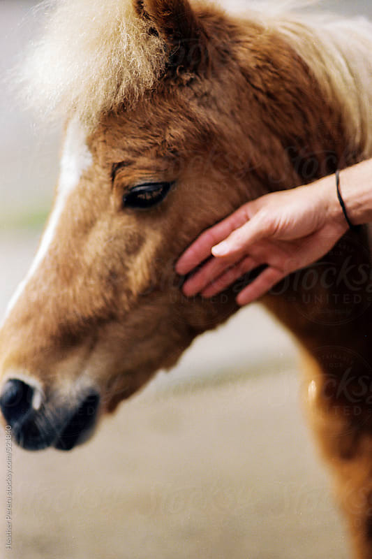 Hand petting miniature horse by Heather Perera for Stocksy United