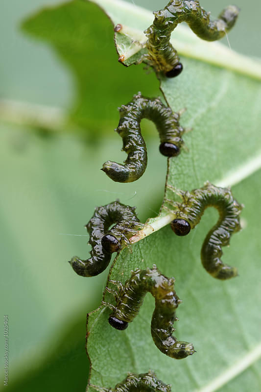 alder leaf larvae eating a leaf by Marcel for Stocksy United