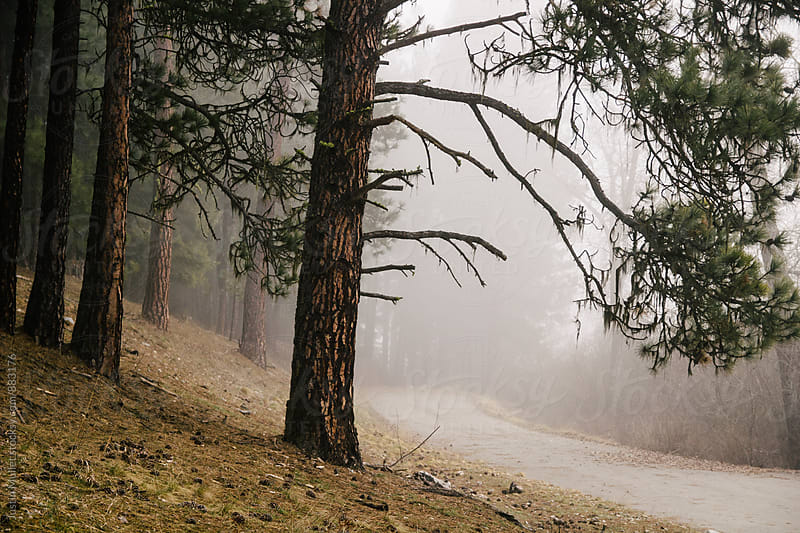Ponderosa Pine tree standing beside a road on a foggy quiet morning by Justin Mullet for Stocksy United