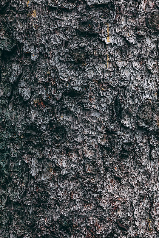Fir tree trunk with bark closeup by Ilya for Stocksy United