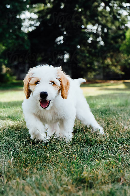 White and Brown Golden Doodle puppy walking in grass by J Danielle Wehunt for Stocksy United