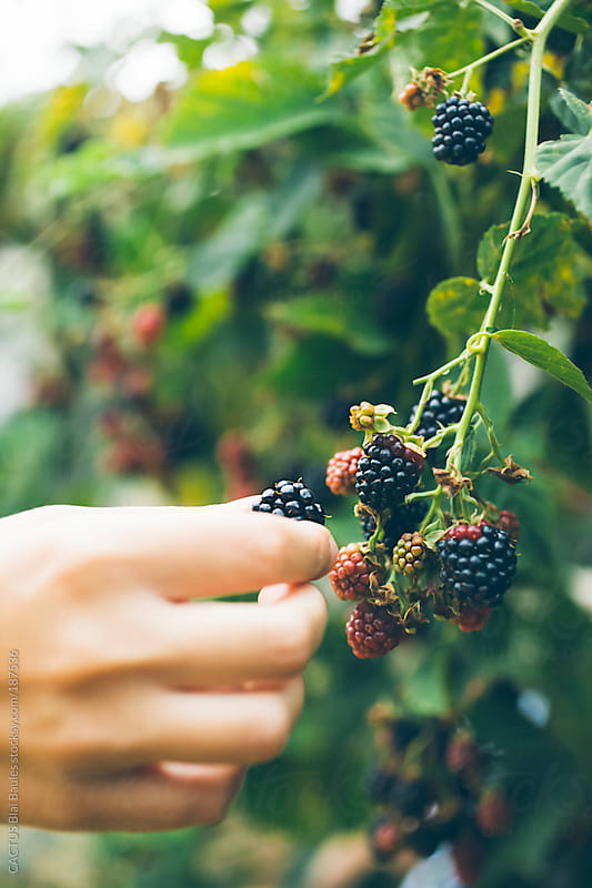 Woman's hand picking blackberry  by CACTUS Blai Baules for Stocksy United