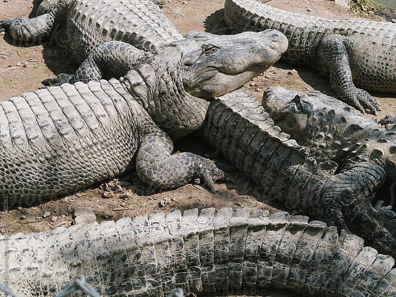 alligators sunbathing in Florida  by Juri Pozzi for Stocksy United