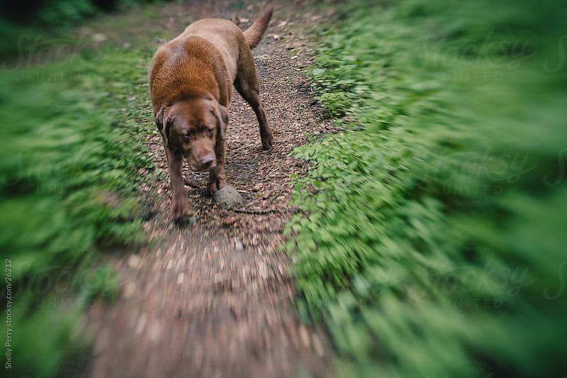 Labrador Retriever by Shelly Perry for Stocksy United
