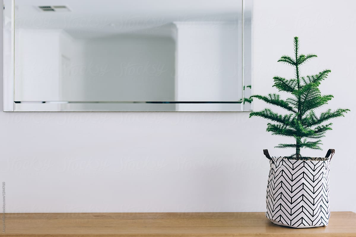 Unadorned Norfolk Island Pine Tree On Bench For Christmas, With ...