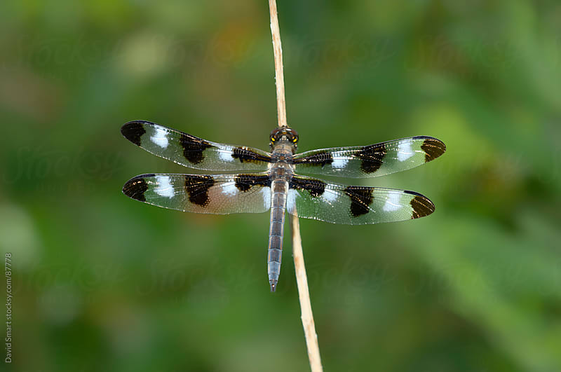 Twelve-spotted Skimmer dragonfly by David Smart for Stocksy United