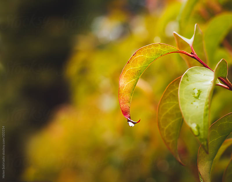 Drop on a Leaf by Helen Sotiriadis for Stocksy United