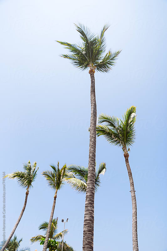 Palm trees against blue sky on a sunny day by Alejandro Moreno de Carlos for Stocksy United