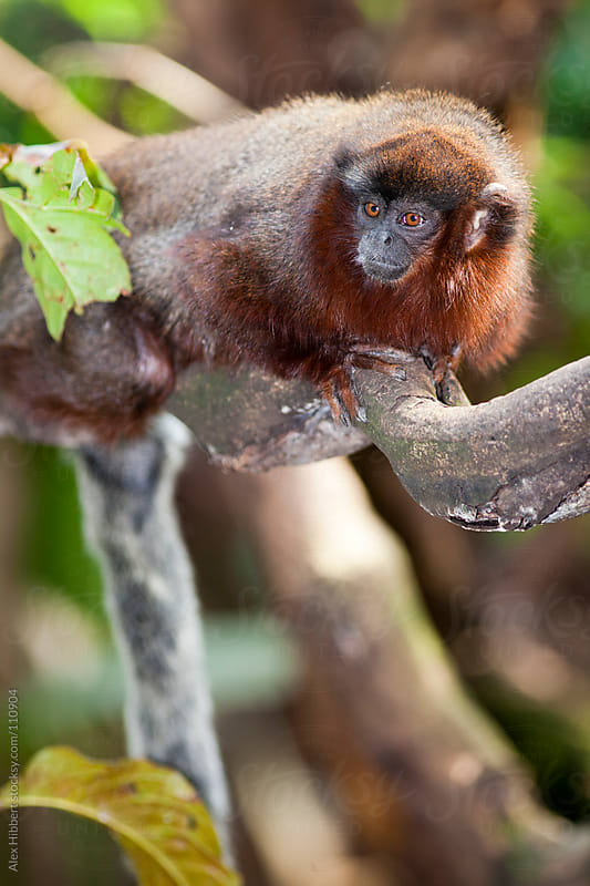 Red Titi Monkey by Alex Hibbert for Stocksy United