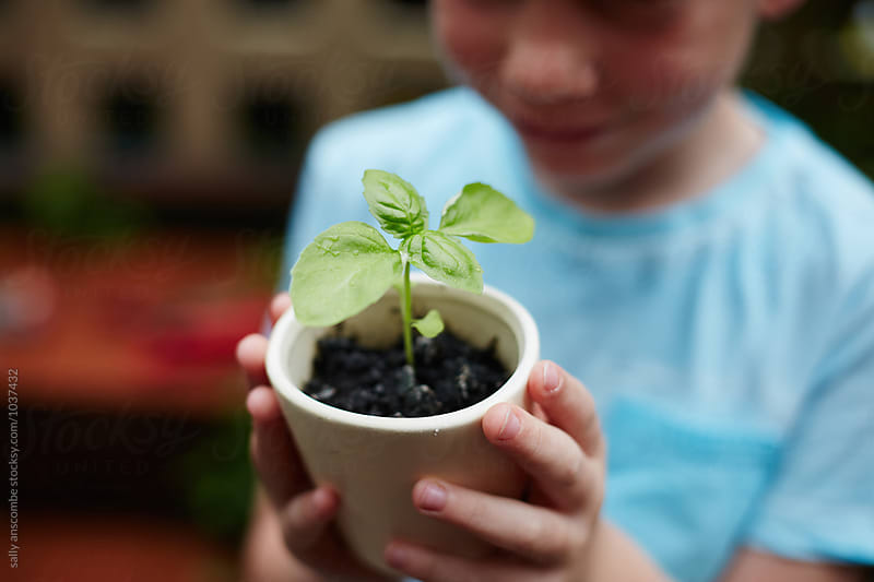 Child holding a potted basil herb plant by sally anscombe for Stocksy United