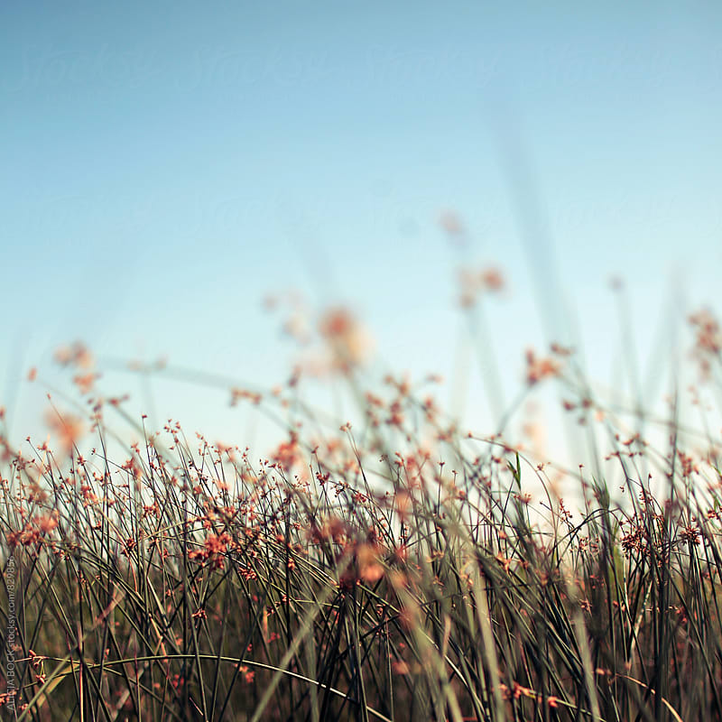 Reeds In A Wetland Against A Clear Blue Sky by ALICIA BOCK for Stocksy United