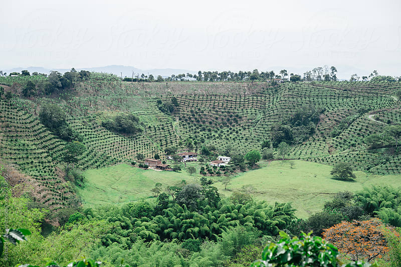Coffee Plantation by Richard Brown for Stocksy United