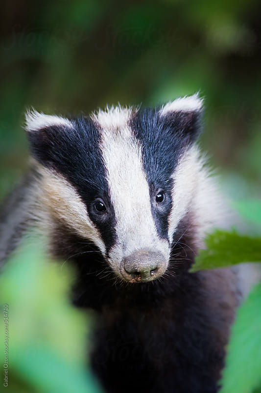 European Badger by Gabriel Ozon for Stocksy United