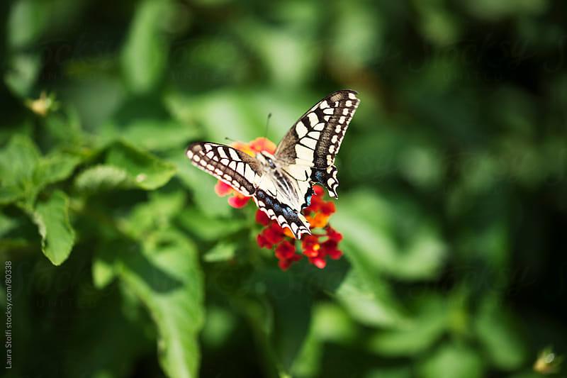 Butterfly on orange Lantana flowers in sunny garden by Laura Stolfi for Stocksy United