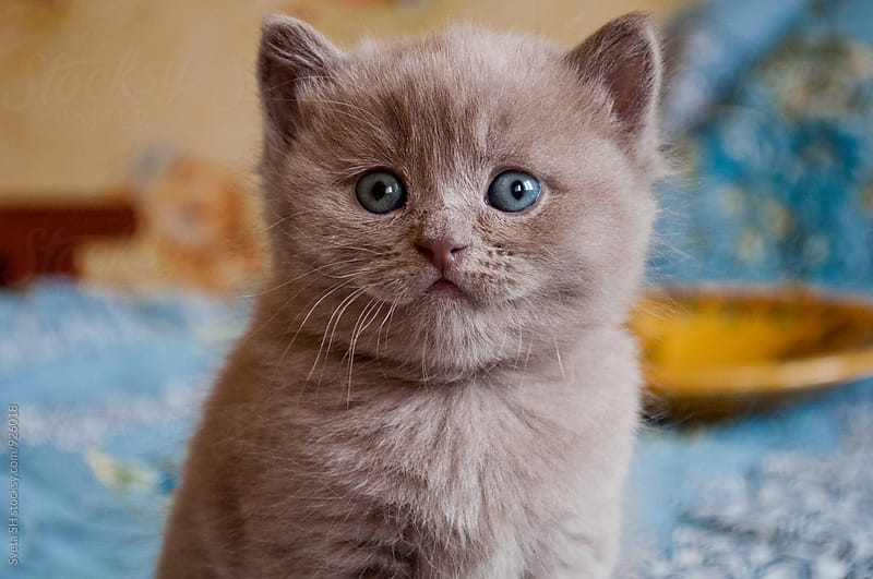 Lilac British kitten by Sveta SH for Stocksy United