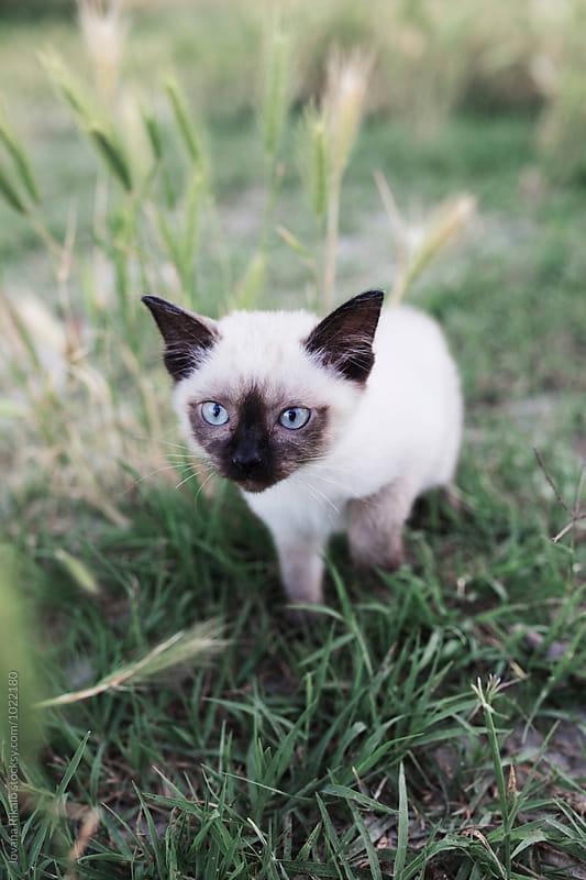 Siamese kitten by Jovana Rikalo for Stocksy United