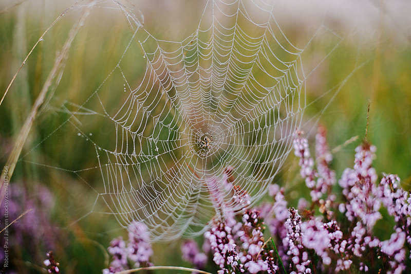 Spider Web above Heath by Robert-Paul Jansen for Stocksy United