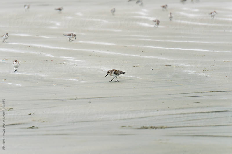 Flock of sand pipers on the beach by Richard Brown for Stocksy United