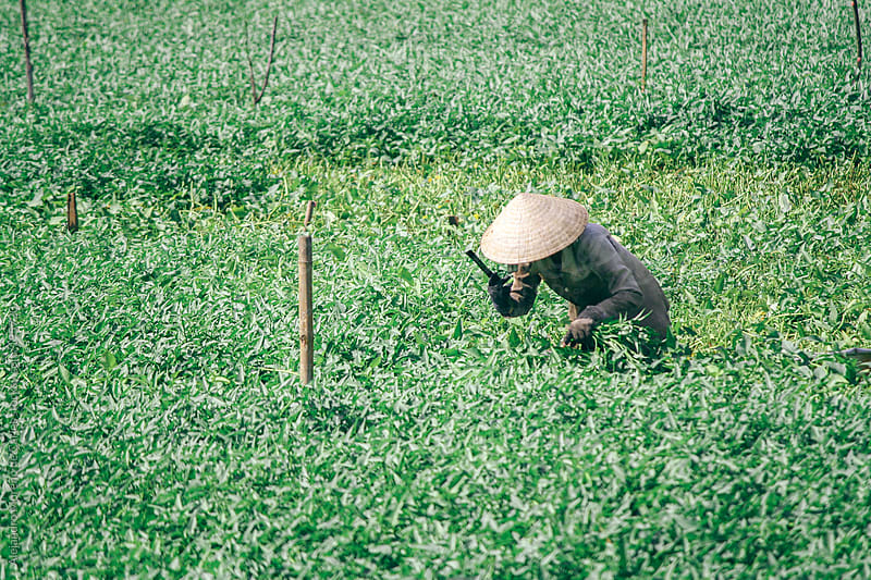 Farming - Asian woman harvesting on a field by Alejandro Moreno de Carlos for Stocksy United