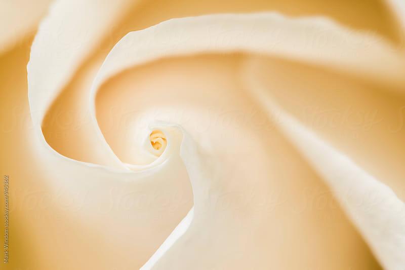 Rose Petal Swirl by Mark Windom for Stocksy United