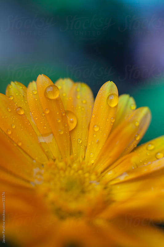 detail of a yellow flower with raindrops by Javier Pardina for Stocksy United