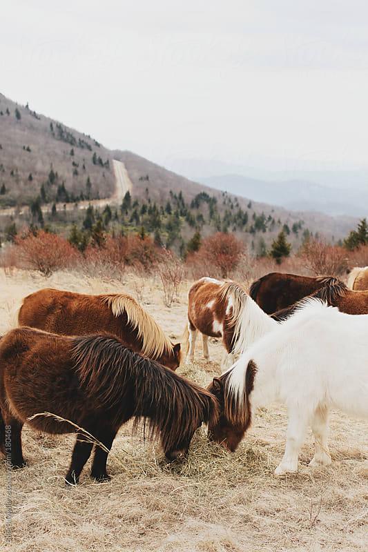 Group of wild ponies by Ellie Baygulov for Stocksy United