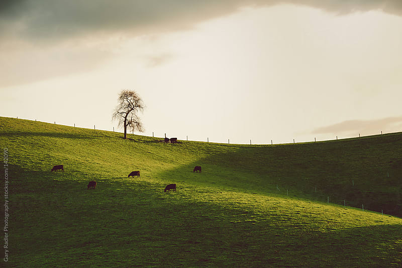 Cows grazing on Lush Green Field by Gary Radler Photography for Stocksy United